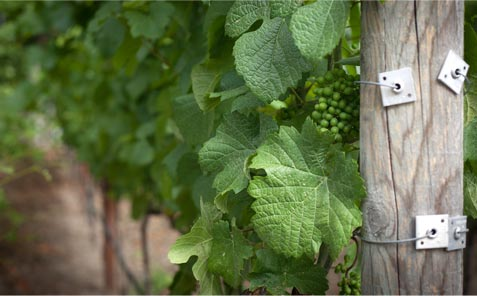 Grapes grow near a post