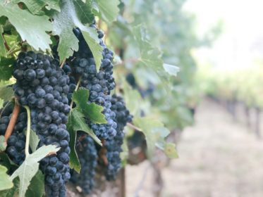 Several large clusters of red grapes hang from their vine.
