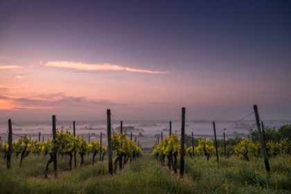 A sunset landscape of a vineyard with foggy rolling hills in the background.